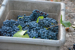 sparkling_wine_grapes_bin